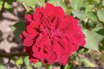 Rote Buschrose - Bush rose