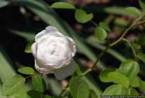Weisse Rose Glamis Castle - geschlossene Rose - White closed Rose Glamis Castle